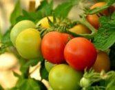 Cultivo de tomates con Aminoburst